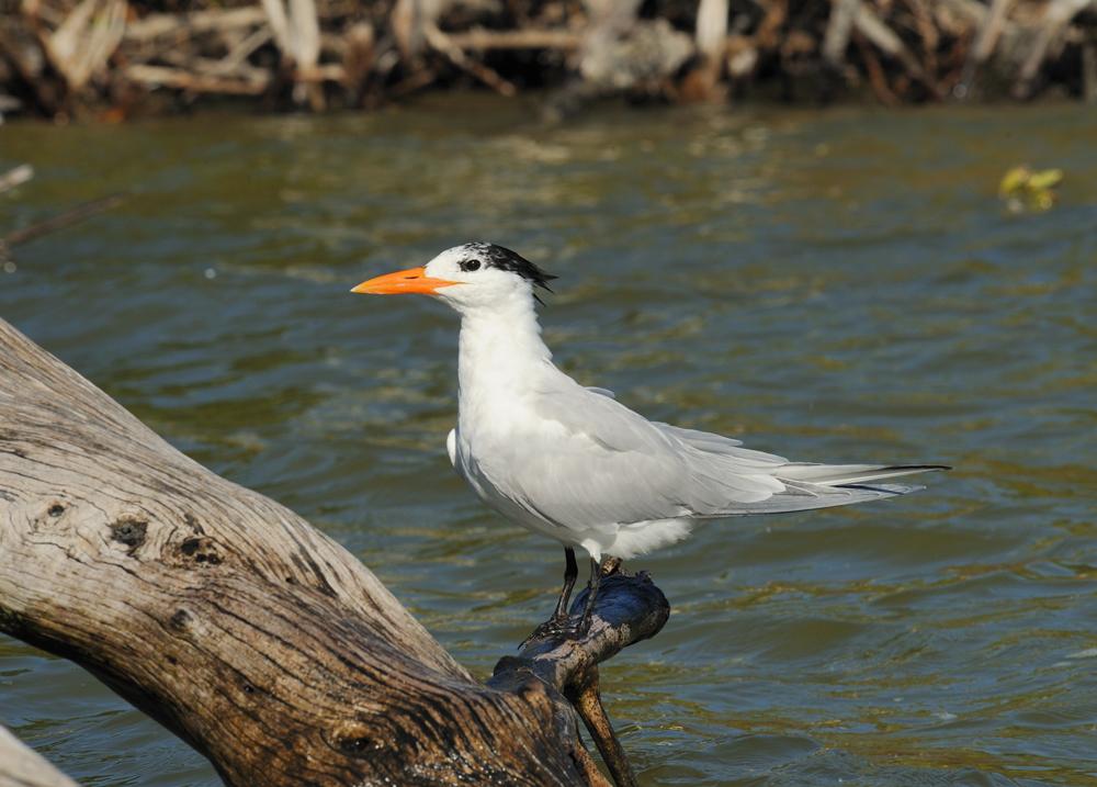 Royal Tern  FolksRead