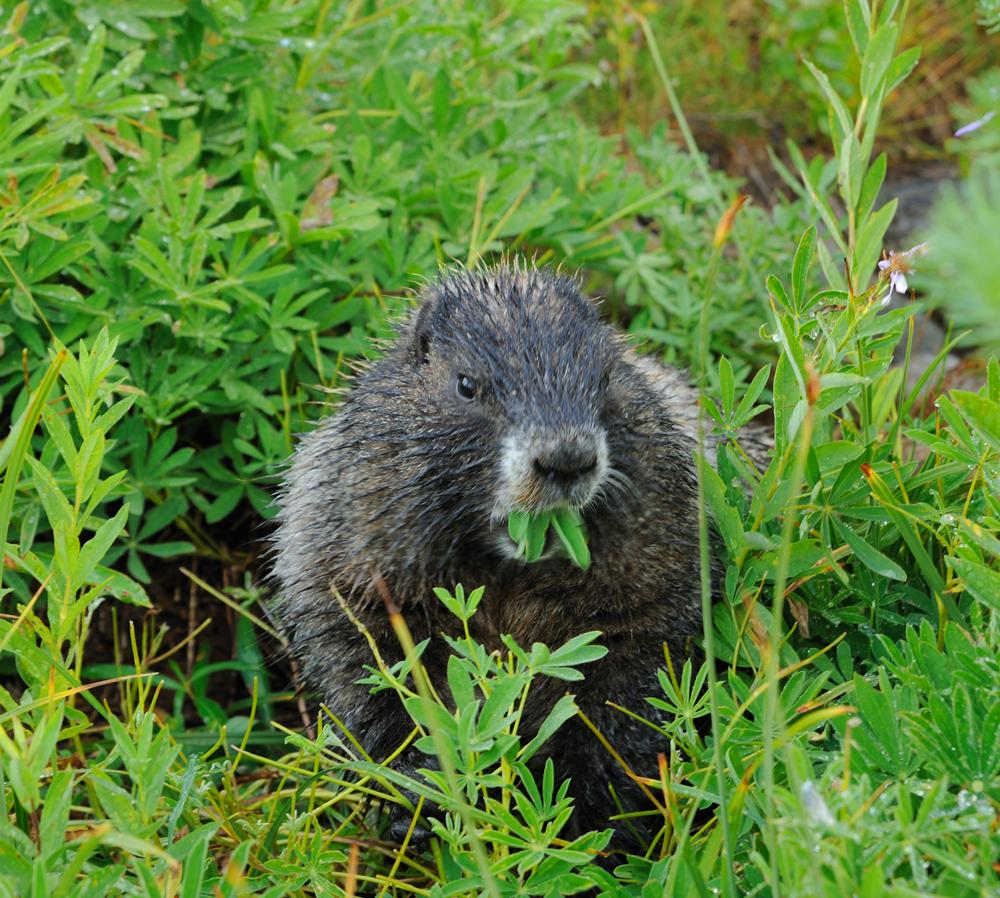Marmot Dinner « Catching Natural Beauty